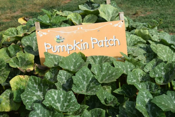 Patterson Farms Pumpkin Patch Mt. Ulla NC by This Little Home of Mine